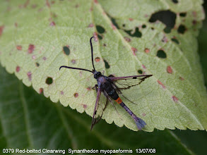 Photo: Red-belted Clearwing