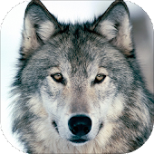 Gray wolf Sounds
