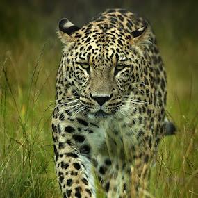 Persian Leopard by Marie Gillander - Animals Other Mammals ( persian leopard )