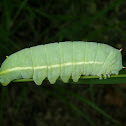 Promethea Moth Caterpillar