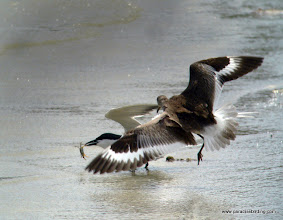 Photo: Willet chasing down a Sandwich Tern for an easy meal, upper Texas Coast