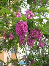 Photo: Falsa acacia de flor rosa