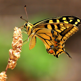 SwallowTail Butterfly by Doug Faraday-Reeves - Animals Insects & Spiders ( butterfly, swallowtail,  )