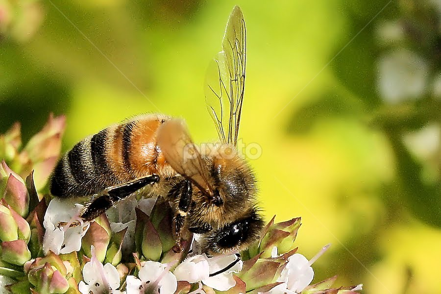 Honey bee (Apis melliifera) by Val  Ford - Animals Insects & Spiders
