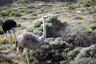 Photo: Juvenile ostrich with adult in back