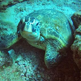 Aloha Mr. Honu by Thomas Nicola - Animals Sea Creatures (  )