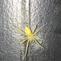 Black footed yellow sac spider