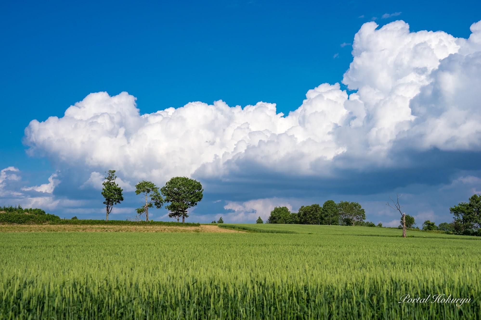 麦畑と3兄弟の木