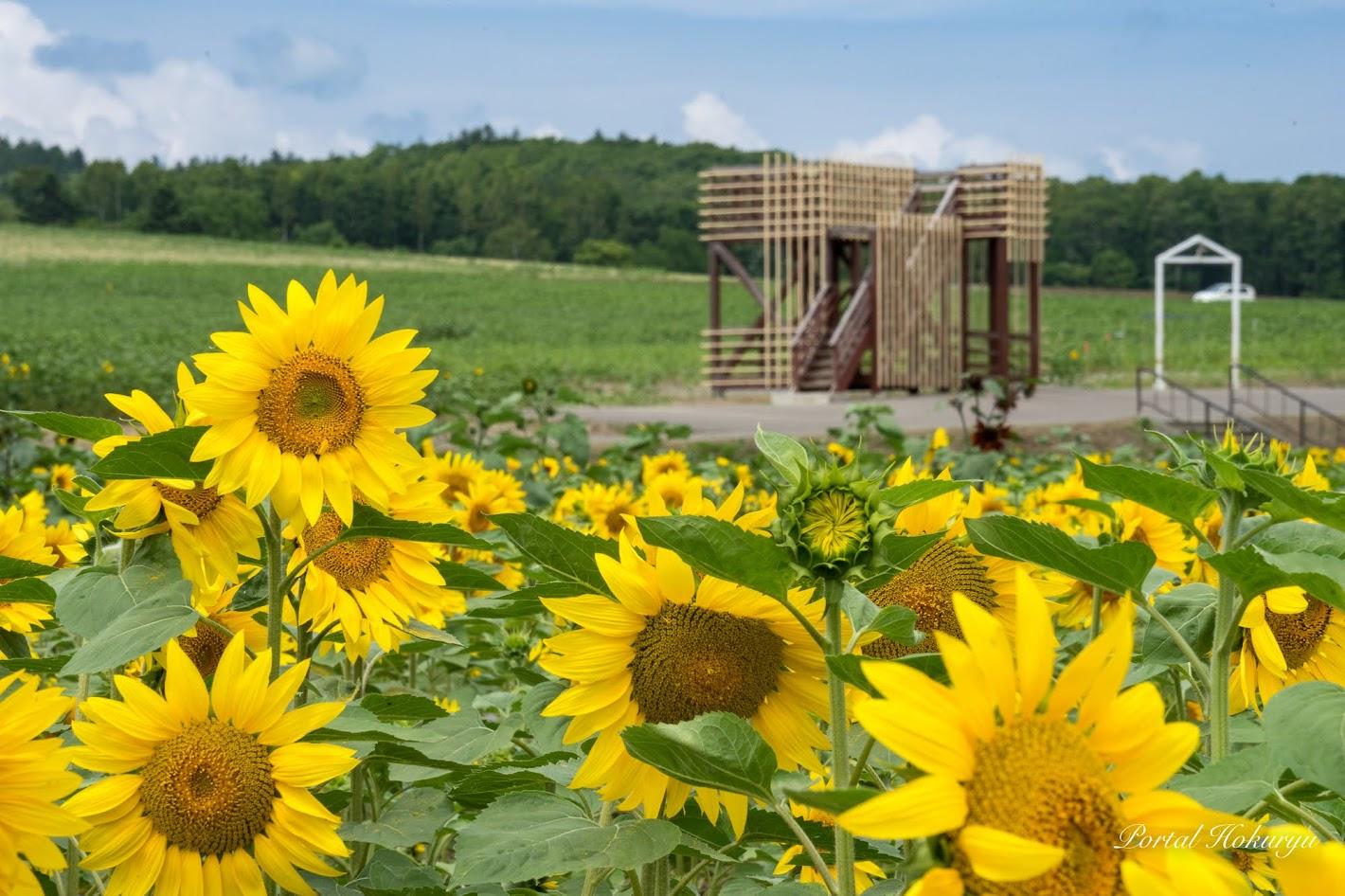 世界のひまわり畑のひまわり・展望台の改修も完了