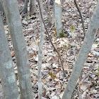 North American Beaver chewings