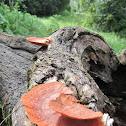 White Rot Saprobic Fungus