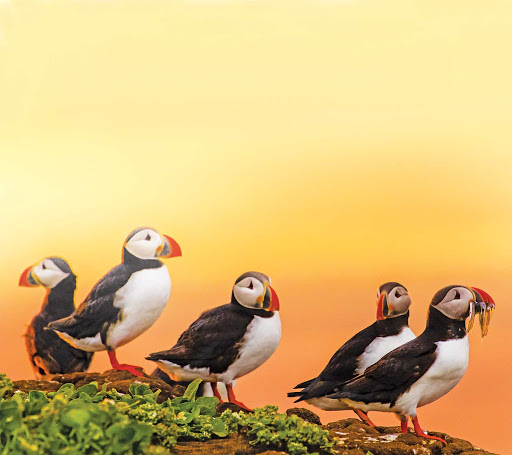 Lindblad-Expeditions-Iceland-Atlantic-Puffins.jpg - Spot Iceland's Atlantic puffin on a Lindblad Expeditions journey of Iceland.
