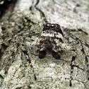 Malayan Tree Trunk Jumper