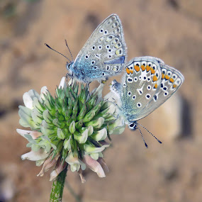 Common Blue Butterflies by Mārīte Ramša - Animals Insects & Spiders (  )