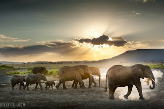 "Photo: An elephantine case for HDR Family of Elephants Serengeti, Tanzania, Africa From the photoblog at www.kylefoto.com  As this family of elephants walked past us we were ever aware of the impending sunset. I took many photos of the elephants but what stood out were the ones with the leading elephant giving himself a dust bath as the sunset backlit the puff of serengeti ash. It's these moments that I get very excited, the low golden light is paramount in photographing anything from wildlife and landscapes to portraits. This is where I knew I could get a stunning environmental portrait of this family, scenery and a sunset scene all in one. The major technical problem is the wide tonal range I was trying to capture: the bright highlights of the sun, clouds and landscape to the dark shadows of the elephants and foreground. This would be too much for my camera to take in all at once. I turned on the auto bracketing and multi burst shooting mode on my camera, holding down my shutter I rapidly fired off three exposures, one over exposed by two stops, one with normal exposure and he last under exposed. The three images combined provided me with an extra wide tonal range that captured everything I was looking at, this is what's known as HDR, or High Dynamic Range. After firing off a few shots I thought, ""I just +Trey Ratcliff ed it"".  Even before this I have already accepted HDR images as a legitimate photographic technique. A lot of people currently consider it ""cheating"" or ""fake"" the irony is that the images come out with a tonal range that more accurately reflects what a person would see in real life. To me, the fact that I use this technique is personal validation that HDR is here to stay and that this technique is just as good as any other a photographer keeps in their arsenal. This scene begged to be captured in a full range and this was the only way to do it with the available light. My first impression of HDR years ago appalled me, but no more than bad photography might appall me. These days there are plenty of great examples of masterfully processed HDR photos, and these photographers and the community in general is getting better every day. People tend to dislike images that are highly processed on a computer but then don't complain about techniques that can be employed in camera. New cameras coming out will focus more on performance and image quality including doing HDR in camera, some with specialized sensors do it all the time. What will HDR dissenters think about that? When it becomes more about how the photo is taken it becomes a game, for me photography is about capturing truth and beauty, truly expressing the emotional power of being there, I couldn't care less if the photography did headstands while doing it, it's the photo that matters.  HDR Technique: I initially processed this in Photomatix, the de facto HDR processing software as far as I can tell. I like what it does but I don't love the way it treats all the textures, coming out with too much contrast in unusual places, the software not being aware of the elephants natural smoothness it treats their skin like a texture that needs to be brought out, and it was too much. Other unusual artifacts produced by photomatix cause flaring on highlight edges and the images come out a little softer than I like, losing a bit of resolution. For this reason my final image was an HDR photo that I manually combined in photoshop. I layered each exposure on top of each other and kept each portion that was properly exposed for the final result. It ended up looking just the way I saw it without unusual artifacts and a more subdued contrast change. It will be interesting to see which image appeals most to people, so comment and let me know.  See both full images at www.kylefoto.com to compare!  For #sunsetsaturday curated by +TJ Kelly"
