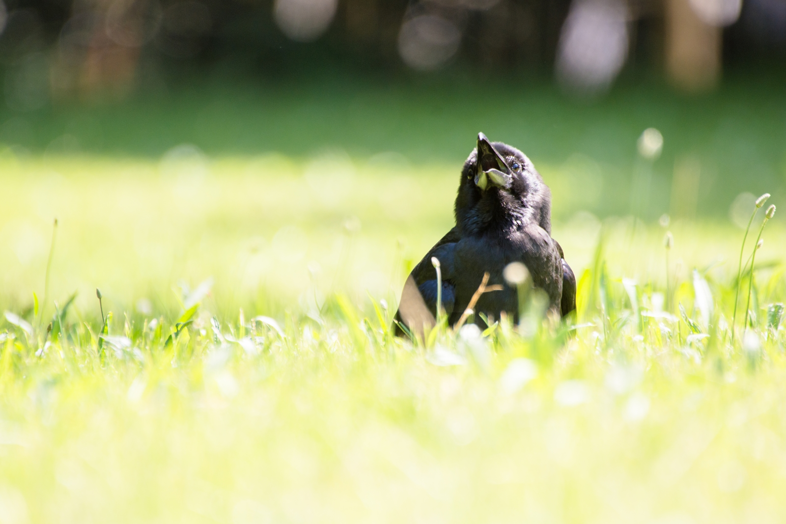 Photo: ぼ~っとする In a daze.  眩しい光 体がじんわりあたたかい まわりもふわふわ柔らかく なんだかとっても心地いい  Juvenile of Crow. (カラスの幼鳥)  #birdphotography #birds #cooljapan #kawaii #nikon #sigma Nikon D7200 SIGMA APO 50-500mm F5-6.3 DG OS HSM  ・小鳥の詩朗読 /poetry reading https://youtu.be/SDQMUYDs5_s?list=PL2YtHGm0-R3qVsaqvQe9OYdJFCkI98wzF