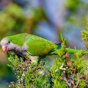 by John LeBlanc - Animals Birds ( parakeet monk, birds,  )
