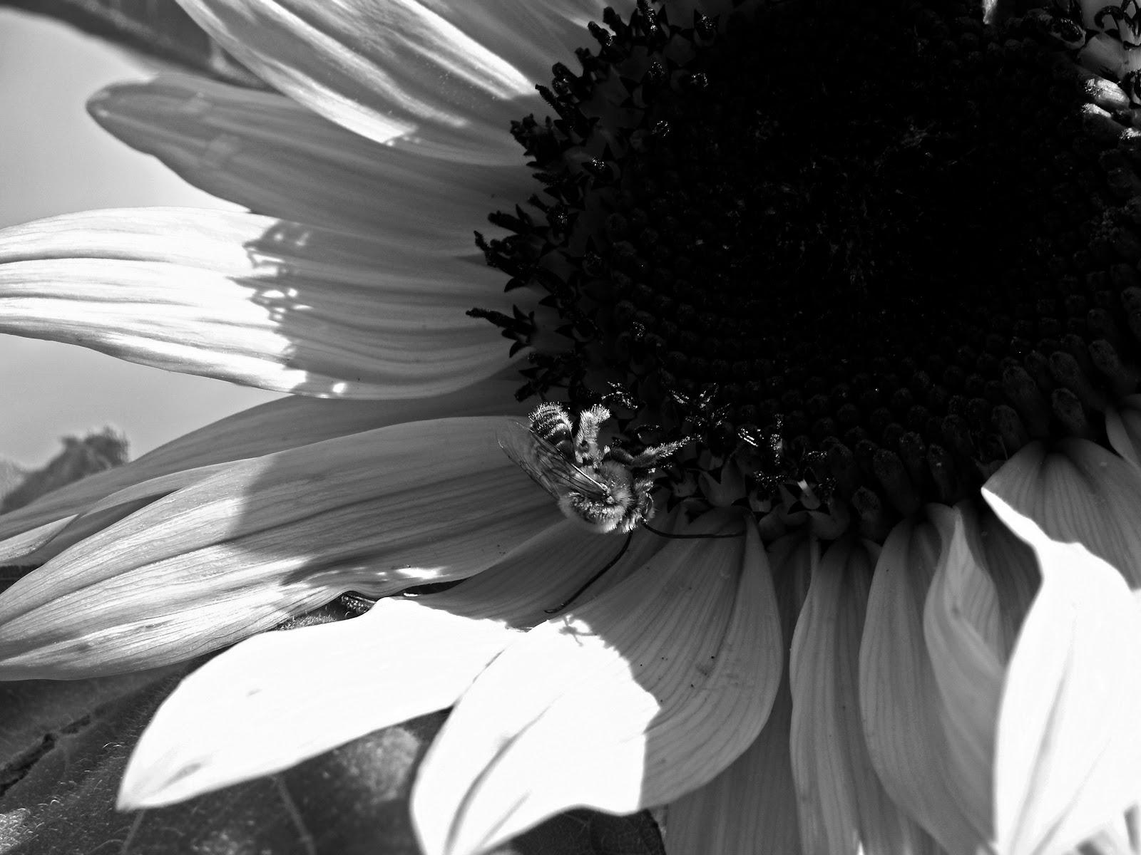 Flower W Bee bw.jpg