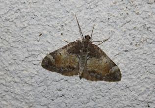 Photo: Dysstroma truncata  Lepidoptera > Geometridae
