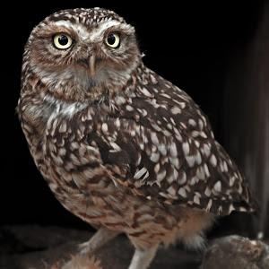 Burrowing Owl (Athene cunicularia)and prey - Copy.jpg