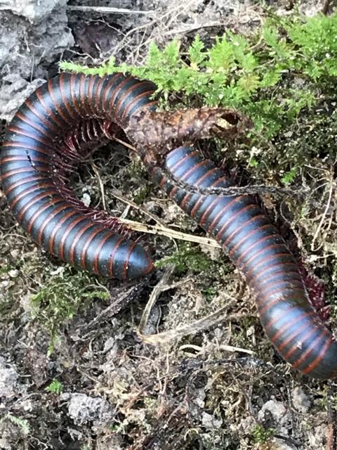 American giant millipede