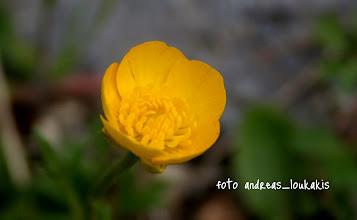 Photo: ΝΕΡΑΓΚΟΥΛΑ Buttercup Ranunculus repens  ΟΡΟΠΕΔΙΟ ΚΑΘΑΡΟΥ