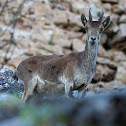 Cabra montés (Iberian ibex)