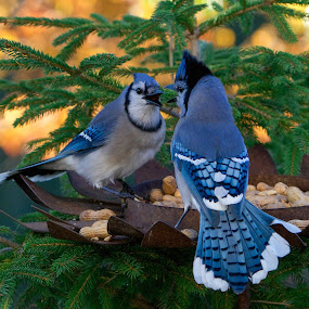 Bluejay Showdown by Marie Schmidt - Animals Birds