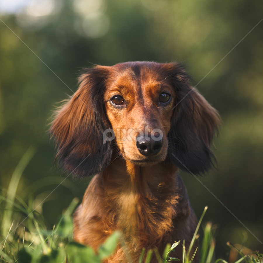 Dachund Portrait by Artem Sapegin - Animals - Dogs Portraits ( dachshund, doxie, dog )