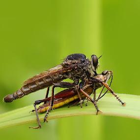 MAKAN PAGI by B Iwan Wijanarko - Animals Insects & Spiders