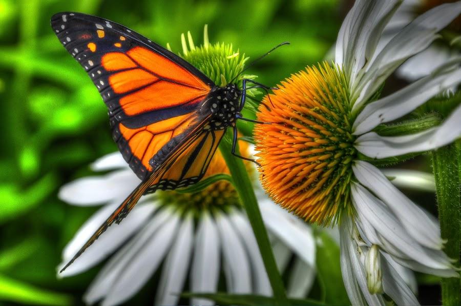 Nectar d'Échinacée by Paul Bélair - Nature Up Close Flowers - 2011-2013 ( échinacée, monarque, fleurs, papillon )