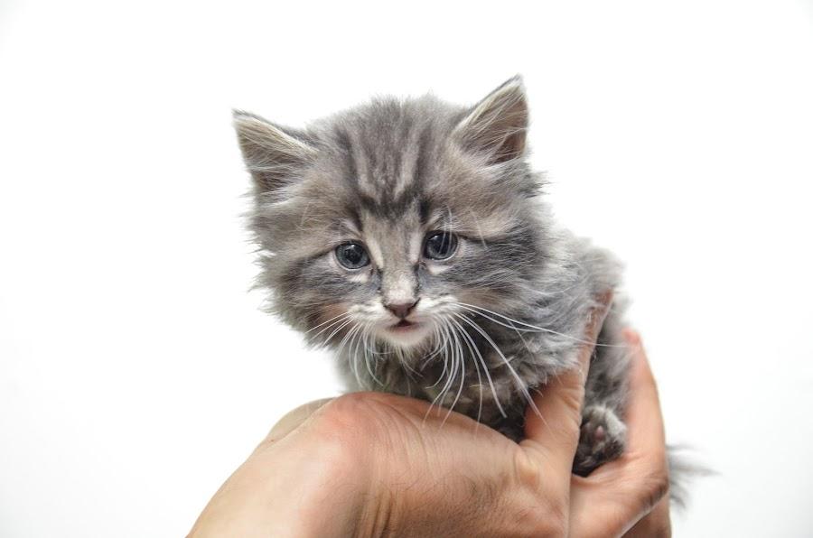 Tiny Cute Kitten by Florin Marksteiner - Animals - Cats Kittens ( hand, tiny, kitten, background, white, cute,  )