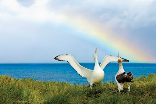 wandering-albatross-and-rainbow.jpg - Two wandering albatrosses engage in a courtship display under a rainbow.