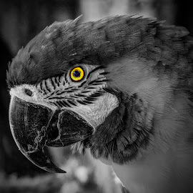 Yellow Eye by Paul Drajem - Digital Art Animals ( outdoor, nature, feathers, things, animal, perot, birds, wildlife,  )
