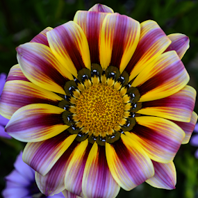 Single multicoloured flower by Anastasis Agathokleous - Flowers Single Flower ( multicolored, pink, flowers, yellow, flower,  )