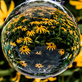 Black Eyed Refraction  by Chris Cavallo - Flowers Flower Gardens ( yellow flowers, reflection, maine, reflections, crystal, refraction, black eyed susan,  )