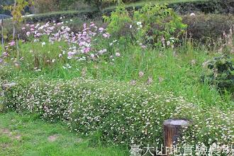 Photo: 拍攝地點: 梅峰-一平臺 拍攝植物: 波斯菊(上方)墨西哥飛蓬(下方) 拍攝日期:2013_09_28_FY