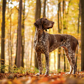 Cambria by Hanna Králíková - Animals - Dogs Portraits ( natural light, breed, german short-haired pointer, cute, natural background, adorable dogs, curious, nature, happy, mamal, animal, pedigree, animalia, adult, portrait, vertebra, resting, animal kingdom, female, stand, pet, zoology, rest, dog, companion dog, standing, natural )