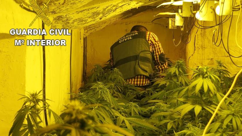 Plantas de marihuana halladas en Albox.