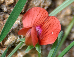 Photo: Lathyrus cicera (Fabaceae), Red Vetchling