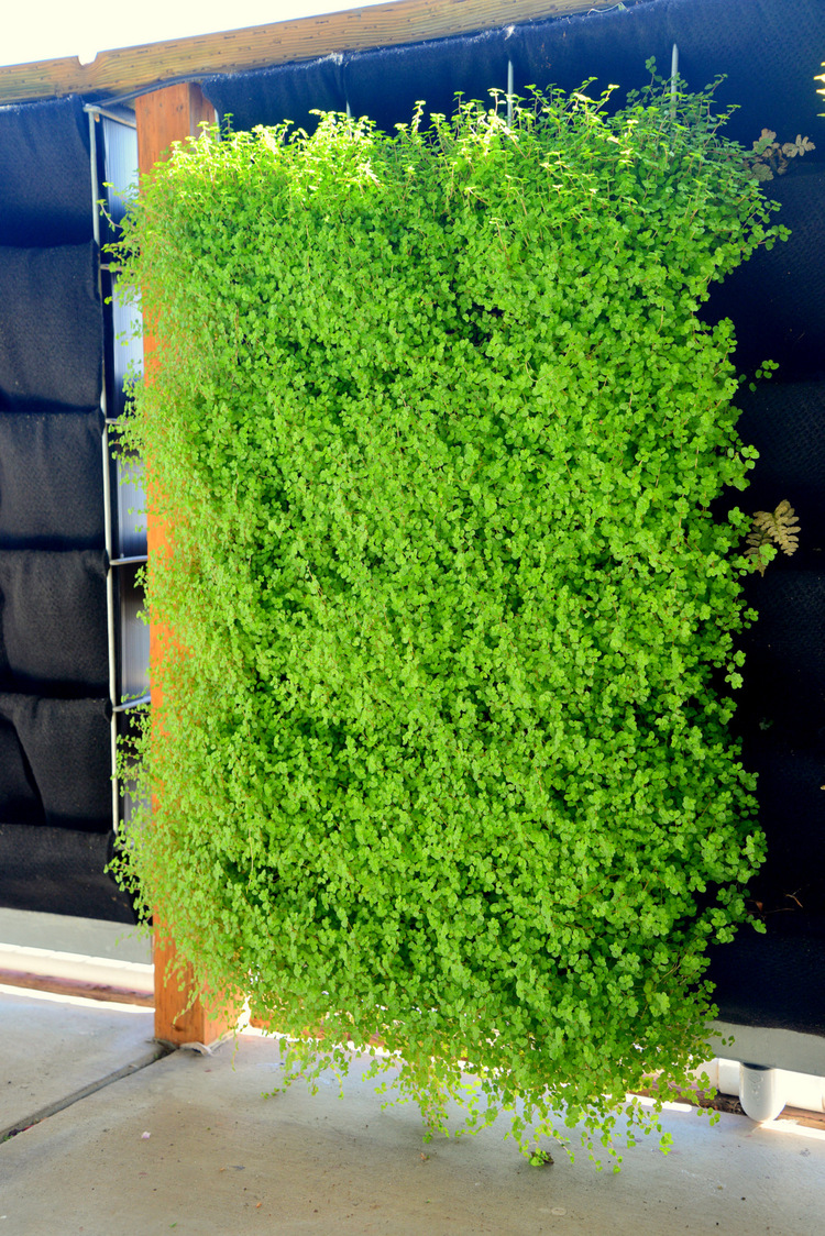 Florafelt Pro System Vertical Garden Unit, Carpet of Baby Tears