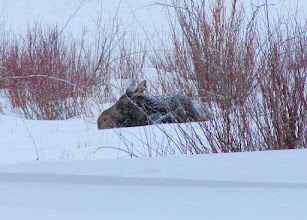 Photo: Moose #2 near the Big Sky Resort pro golf shop