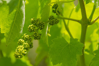 Photo: Clusters of grapes