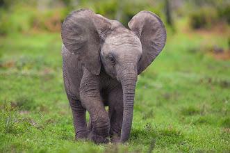 Photo: An Elephant calf ( Loxodonta Africana ) in Addo Elephant National Park, South Africa