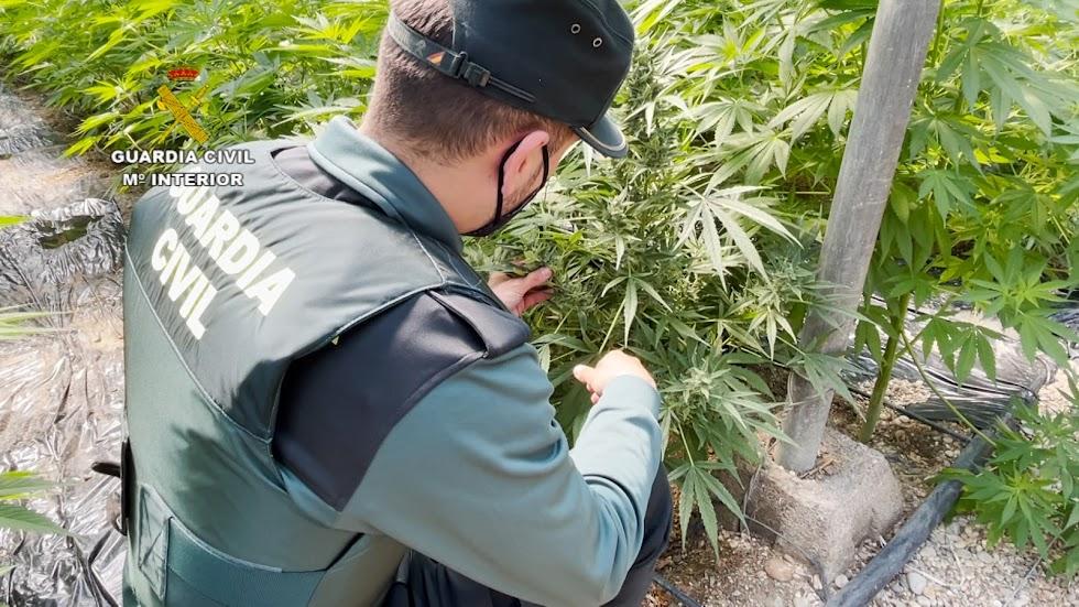 Un agente con una de las plantas de marihuana.
