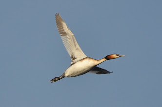Photo: Podiceps cristatus