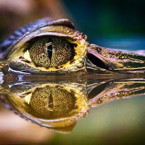 cayman's eye by Dmitry Samsonov - Animals Reptiles (  )