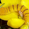 Orange-barred Sulphur caterpillar