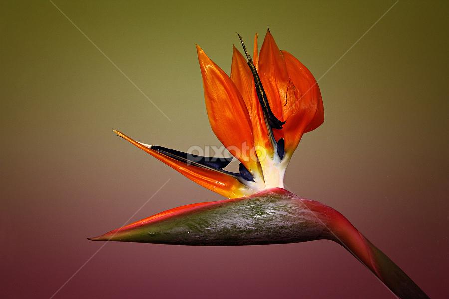 Strelitzia Reginae by Miroslav Socha - Nature Up Close Flowers - 2011-2013 (  )