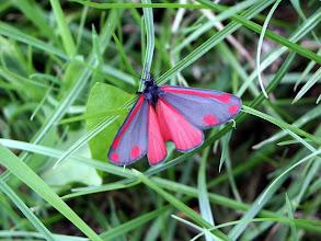 Photo: Cinnabar Moth